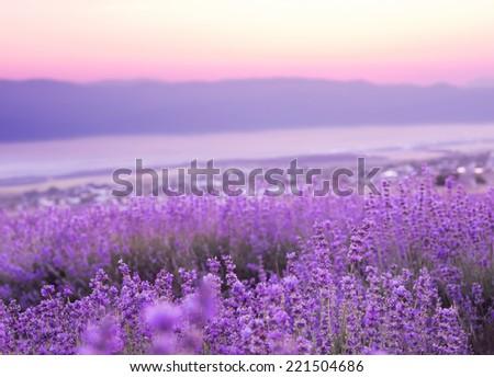 Beautiful image of lavender field over ummer sunset landscape. - stock photo