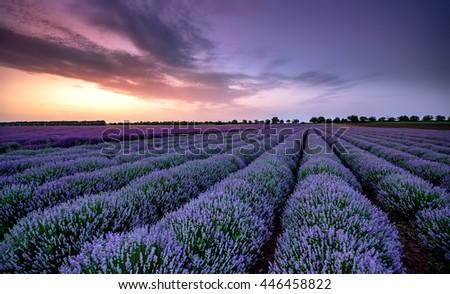 Beautiful image of lavender field Summer sunset landscape. - stock photo
