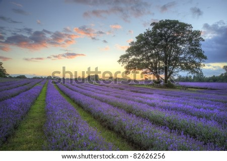 Beautiful image of stunning sunset with atmospheric clouds and sky over vibrant ripe lavender fields in English countryside landscape