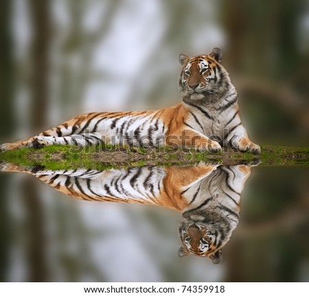 Beautiful image of tiger relaxing on grassy bank reflection in water - stock photo