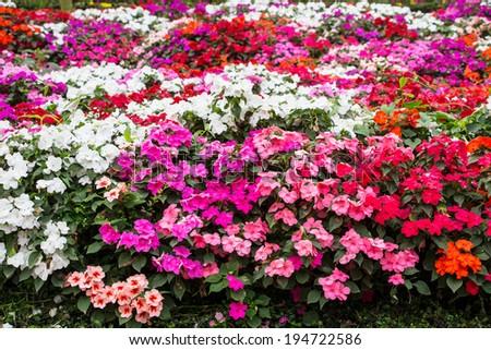 Beautiful impatiens flowers - stock photo