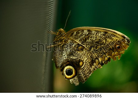 beautiful insect butterfly on a dark background macro - stock photo