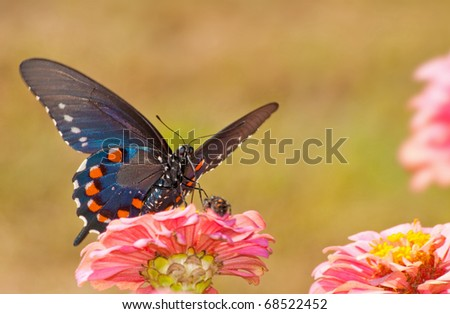 Beautiful iridescent blue Pipevine Swallowtail feeding on a pink Zinnia, front ventral view - stock photo