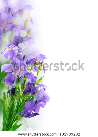 Beautiful iris flower background - stock photo