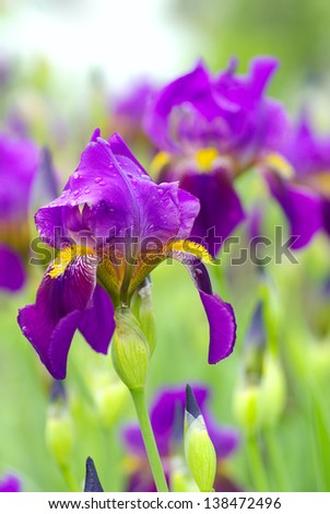 Beautiful iris flower background