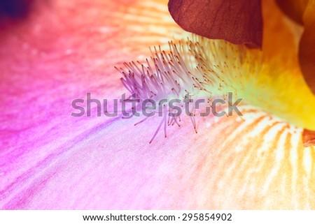 beautiful iris flower close-up. Macro - stock photo