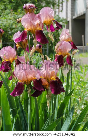 Beautiful iris flowers in sunny day. Irises. Green scenery in the garden and fresh flowers. - stock photo