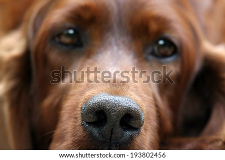 Beautiful Irish Setter female close-up portrait - stock photo