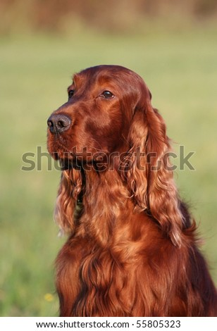 Beautiful Irish Setter portrait - stock photo