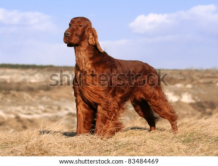 Beautiful Irish Setter standing in the field - stock photo