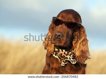 Beautiful Irish Setter with sunglasses and scarf - stock photo