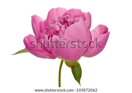 beautiful isolated blossom of a peony - stock photo