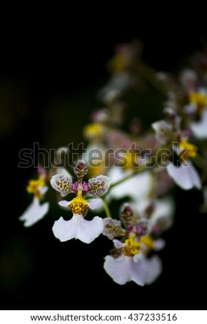 Beautiful isolated small white and yellow orchid flowers against a black background - nature wallpaper - stock photo