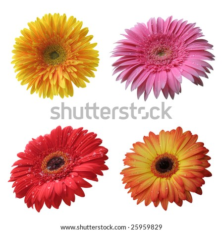 beautiful isolated yellow, pink, red and orange gerbera flowers collection, isolated on white background, ideal for natural or season designs. - stock photo