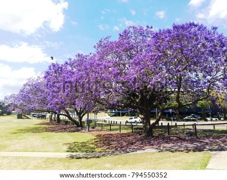 Beautiful Jacaranda Trees Blooming Full Ipswich Stock Photo Royalty