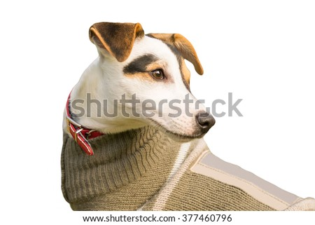 Beautiful Jack Russell terrier portrait isolated on white. - stock photo