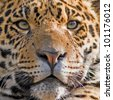 Beautiful jaguar closeup - stock photo