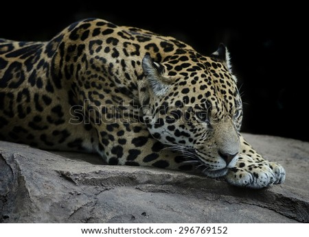 Beautiful Jaguar resting - stock photo
