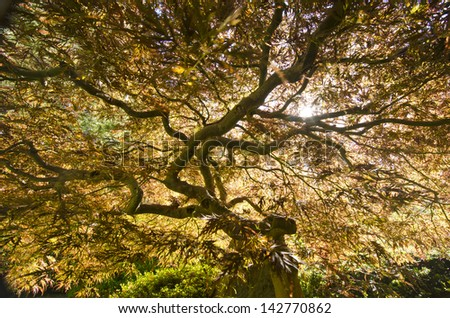 Beautiful Japanese Maple with Sunlight - stock photo