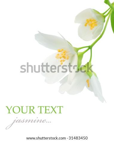 Beautiful Jasmine closeup - stock photo