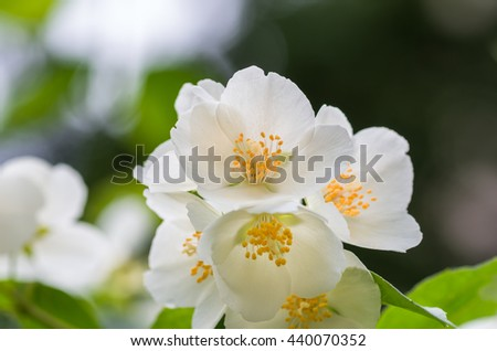 beautiful jasmine flowers in spring on a sunny day