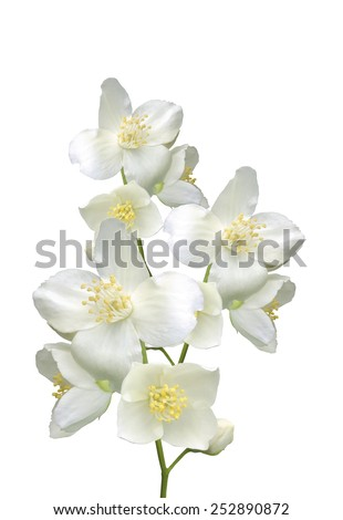 beautiful jasmine flowers with leaves isolated on white - stock photo