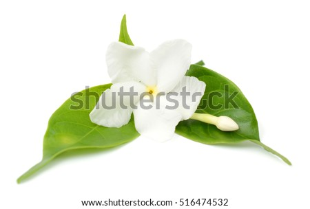 beautiful Jasminum sambac flower isolated on white background