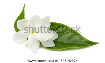 beautiful Jasminum sambac (sampaguita, melati putih ) flower isolated on white background