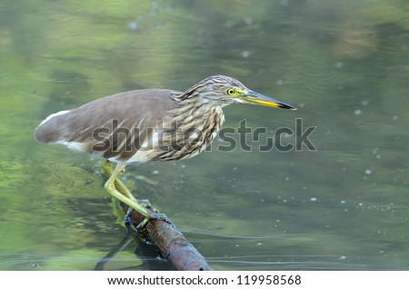 beautiful Javan Pond Heron (Ardeola speciosa) looking for fish at sea shore