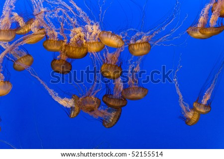 beautiful Jelly fishes in the aquarium with blue background, Monterrey, California - stock photo