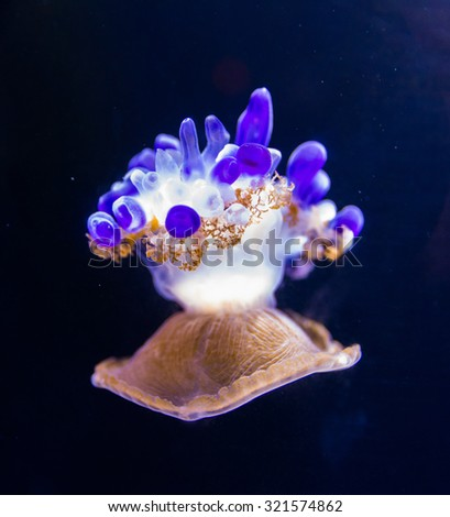 Beautiful jellyfish floating in aquarium water - stock photo