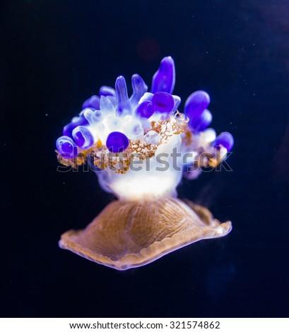 Beautiful jellyfish floating in aquarium water - stock photo