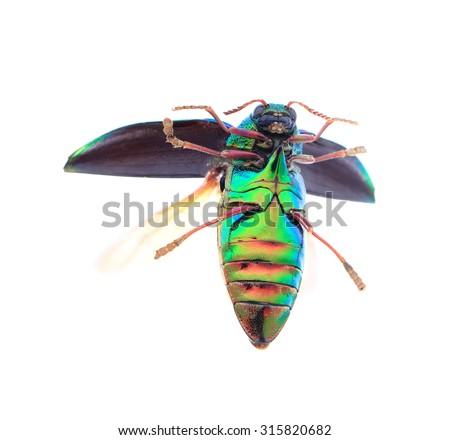 Beautiful Jewel Beetle or Metallic Wood-boring (Buprestid) top view isolated on white background. - stock photo