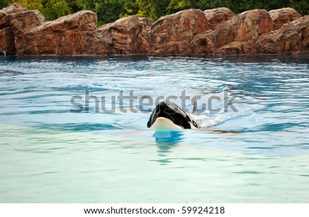 Beautiful killer whale swimming in an aquarium in rainy weather. - stock photo