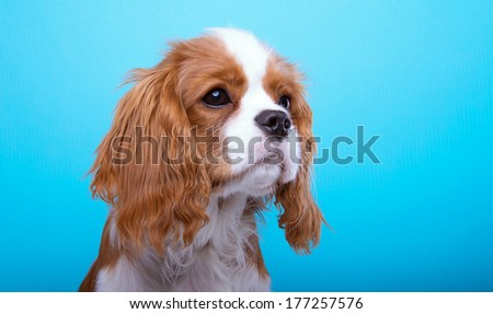Beautiful king spaniel dog. Animal portrait. Stylish photo. Blue background. Colorful decorations. Collection of funny animals - stock photo