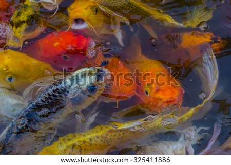 beautiful koi fish swimming in the pond.select focus and focus blur