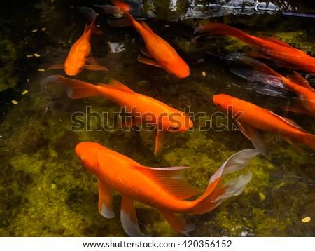 Red orange carp koi fish garden stock photo 388921180 for Beautiful koi fish