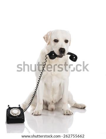 Beautiful labrador dog holdiing a phone  - stock photo