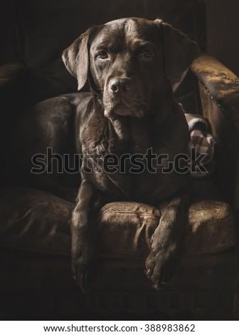 beautiful Labrador in an antique chair - stock photo