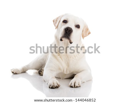 Beautiful labrador retriever breed lying on floor, isolated on white background - stock photo