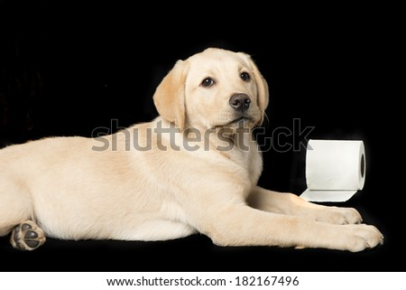 Beautiful Labrador retriever, champagne colored, isolated on black background - stock photo