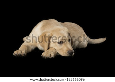Beautiful Labrador retriever, champagne colored, isolated on black background