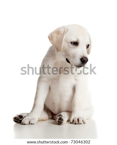 Beautiful labrador retriever cream puppy isolated on white background - stock photo