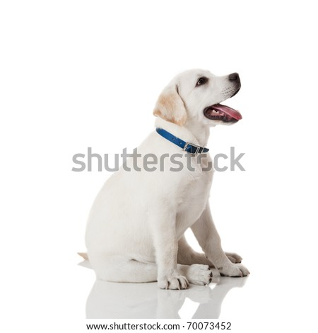 Beautiful labrador retriever cream puppy isolated on white background wearing a blue dog-collar