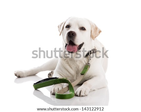 Beautiful labrador retriever dog, lying on floor with a leash, isolated on white background - stock photo