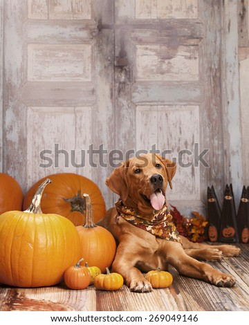 Beautiful Labrador retriever lying next to some pumpkins and gourds.  Room for your text.