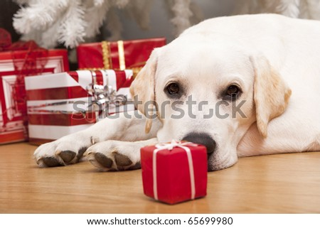 Beautiful Labrador retriever on Christmas day lying on the floor - stock photo