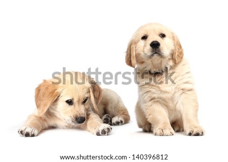 Beautiful Labrador retriever puppies isolated on white background - stock photo