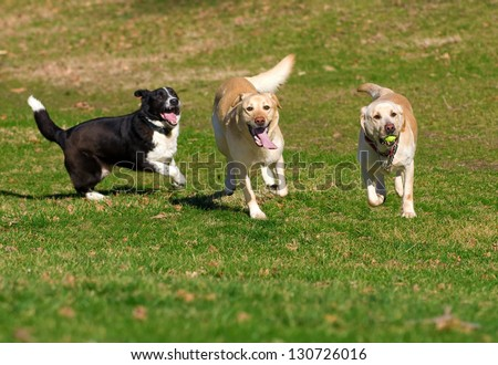 beautiful Labradors playing with a ball in a green meadow