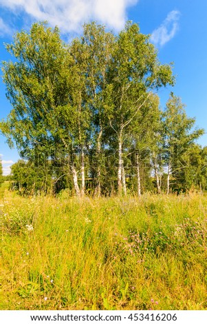 Beautiful landscape - green summer birchwood. Birch forest at sunny day.